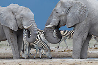 Two large elephant bulls standing in a waterhole face-to-face with zebras in the background against an incoming dark stormy sky.