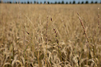 Black grass shedding seed in wheat - Lincolnshire, July
