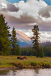 A Moose cow forages in the Mountain Alpine-glow, Jasper, Canada.