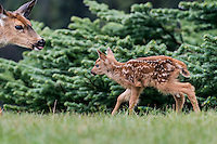 Columbian black-tailed deer (Odocoileus hemionus columbianus) fawn approaching mom.  Pacific Northwest.  Summer.