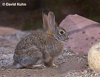 1115-0804  Desert Cottontail Rabbit (Audubons Cottontail), Sylvilagus audubonii © David Kuhn/Dwight Kuhn Photography