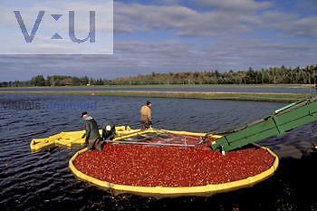Cranberry harvest, USA.