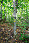 Trail blazing along the Mt Tecumseh Trail in the White Mountains, New Hampshire. A proper trail blaze should be placed about head height on a tree. After a trail inspection by Forest Service in June 2012 the bottom blaze was removed because it was painted on the tree about two feet off the ground. In time, the bad blazing will fade away and not be visible.