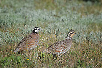 Northern Bobwhite, Male and Female, San Angelo State Park, Texas