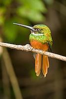 Rufous-tailed Jacamar, Chan Chich, Belize
