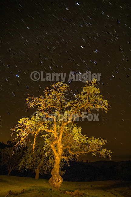 Oak tree in spring, nighttime; Orion constellation star trails. near Parkfield, Calif.