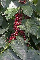 Kaffeebaum, Kaffeestrauch, Kaffee-Baum, Kaffee-Strauch, Kaffee, Früchte, Coffea arabica, Arabian Coffee, Caféier