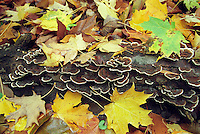 Log Covered with Fungus and Autumn Leaves