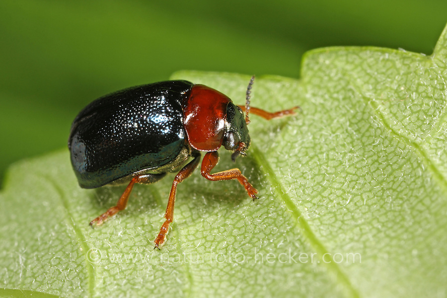 Blauer Langbeinkäfer, Smaragdina salicina, leaf beetle