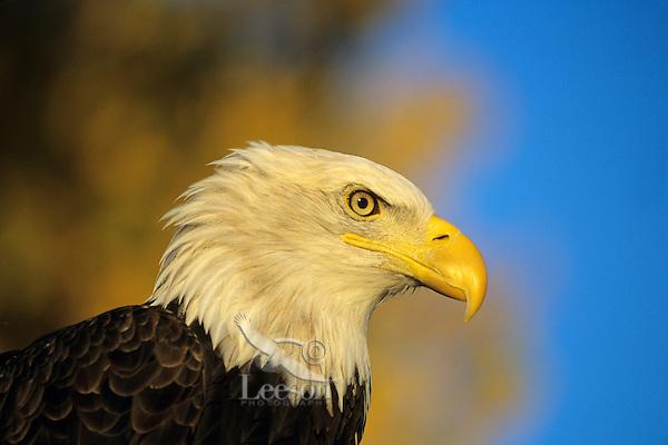 Bald Eagle with fall follage