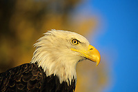 Bald Eagle with fall follage