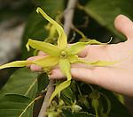 fleur  d Ylang Ylang utilise  pour les parfums