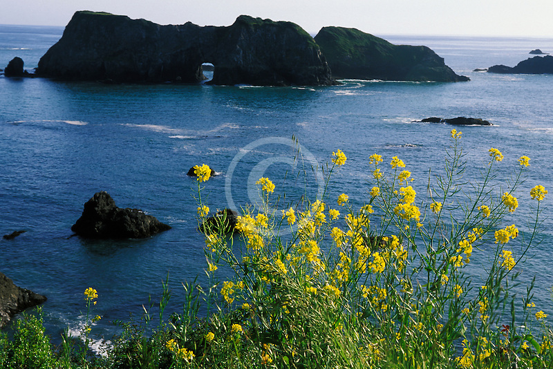 California, Mendocino County, Elk, Mustard flowers and Arch Rock