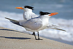 Royal Terns, on the beach at Canaveral National Seashore, Merritt Island, Florida