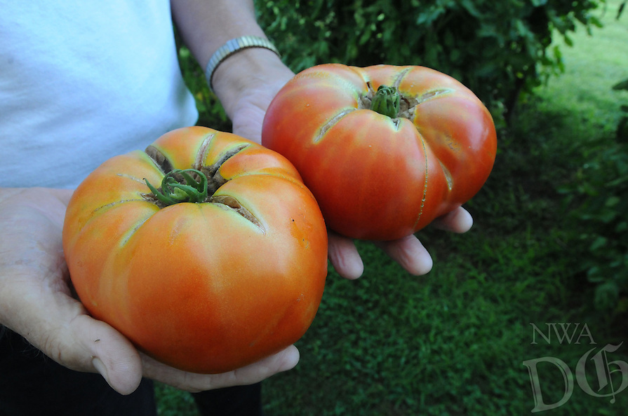 NWA Democrat-Gazette/FLIP PUTTHOFF <br /> Tomatoes, such as these grown by Clyse Craig at his garden in Rogers, are a tasty pleasure of summer.