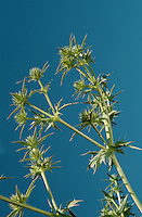 FIELD ERYNGO Eryngium campestre (Height to 50cm) is similar to Sea-holly but yellowish green, with narrower, more deeply divided leaves and smaller flower umbels (Jun-Jul). It grows on dry ground, often near the sea, and is regular at a site near Plymouth; elsewhere its appearance is ephemeral and possibly the result of introductions.