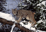 lynx on tree in snow in Feb.