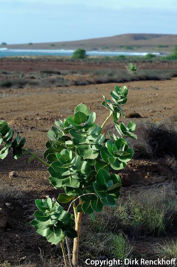 Pflanze Bombadeira (Caotropis procera), Sal, Kapverden, Afrika