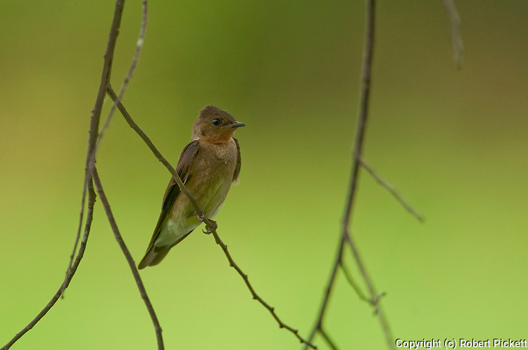 Southern Rough Winged Swallow, Stelgidopteryx ruficollis, Panama, Central America, Gamboa Reserve, Parque Nacional Soberania, perched on small branch over water