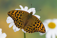 Kaisermantel, Weibchen, Silberstrich, Argynnis paphia, Silver-washed fritillary, female, Le Tabac d'Espagne, Edelfalter, Nymphalidae