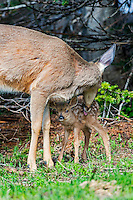 Columbian black-tailed deer (Odocoileus hemionus columbianus) doe washing/cleaning young fawn. Pacific Northwest.  Summer.