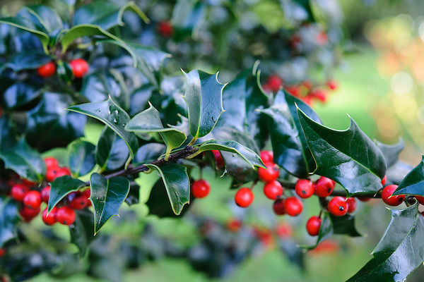 Ilex x aquipernyi 'Dragon Lady'