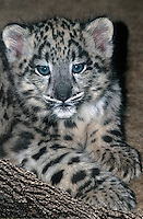654403041 portrait of a young snow leopard cub panthera uncia - species is highly endangered in the wild - species is native to the high steppes of central asia