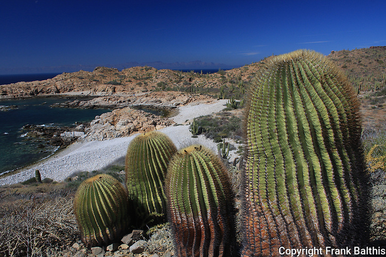 giant barrel cacti on Isla Santa Catalina