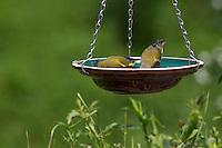 Grünfink, Grünling an der Vogeltränke, Tränke, trinkend, Trinken, Wasser, Wasserschale, Trinknapf, Grün-Fink, Chloris chloris, Carduelis chloris. Greenfinch, Bird bath, drinking trough
