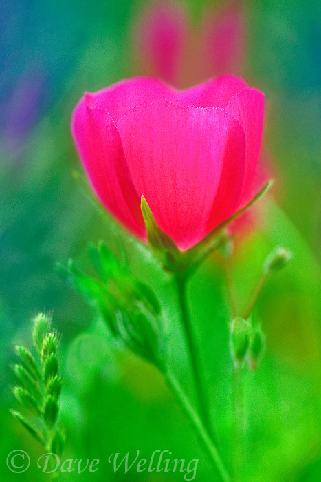 198850005 closeup of a brilliant pink winecup wildflower callirhoe digitata blooming in the texas hill country in texas