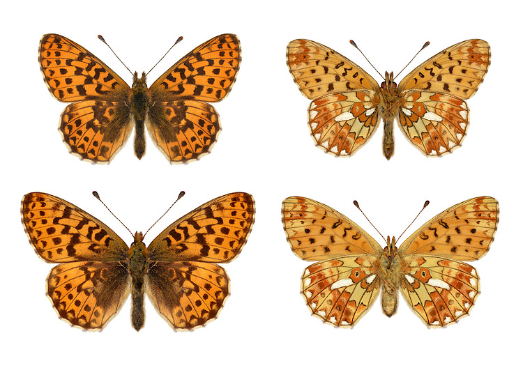 Pearl-bordered Fritillary - Boloria euphrosyne - male (top row) - female (bottom row). Wingspan 42mm. A classic woodland butterfly whose fate is linked to appropriate habitat management. Adult has orange brown upperwings with dark markings; underside of hindwing is beautifully patterned with seven silver spots on the margin and two in the middle. Flies May-June. Larva is black with a pale lateral band, and yellow, hairy spikes on dorsal surface; feeds on violets. Widespread but local in British Isles; hotspots are southern England and west Scotland.
