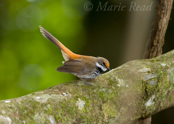 Rufous Fantail (Rhipidura rufifrons), Lamington National Park, Queensland, Australia