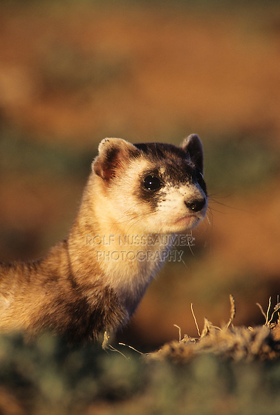 Black-footed Ferret (Mustela nigripes), adult looking, Arizona, USA