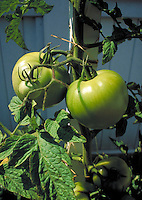 close-up of tomato plants in field showing young green tomatoes on vine.  agriculture, food, agribusiness, vegetable, business, farming, crop, crops, garden, gardening. California.