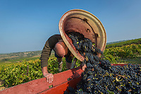 France, Aude (11), Talairan: Jean-Pierre Mazard , Domaine SERRES-MAZARD , pendant les vendanges à la main  //France, Aude, Talairan, Jean-Pierre Mazard , Domaine SERRES-MAZARD , Hand picking, Manual harvest (Auto N°: 2014-171)