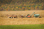 Amishman harvesting corn in Autumn with six horse team. Brush Valley, Centre County, PA