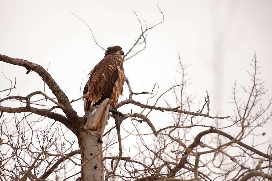 A juvenile bald eagle perches in a tree at Red Rock Lakes National Wildlife Refuge in Montana's Centennial Valley.