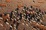 Namibia, Namib Desert, Namibrand Nature Reserve, aerial view of large herd of oryx (Oryx gazella) crossing plain covered with fairy circles; fairy circles are believed to be caused by termites