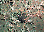 Whip Spider Scorpion, Amblypygi,  Belize, camouflaged