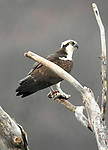 An osprey perches in an old dead tree with its morning catch at Rose Valley Lake.