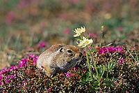 Arctic ground squirrel, lapland rosebay spring flowers, tundra, Denali National Park, Alaska