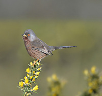 Dartford Warbler Sylvia undata (L 12-13cm), often seen perched on a Gorse spray with its tail cocked up, is emblematic of heathland conservation. Adults have blue-grey upperparts, reddish underparts with a white belly, a beady red eye and reddish eyering, and pinkish yellow legs; males are brighter than females. The species is often first detected by sound: it utters a tchrr-tche alarm call and has a rapid, scratchy warbling song. Dartford Warblers are restricted to Gorse-covered heathland areas in southern England and are mainly resident.