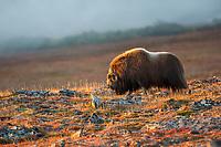 Muskox on the tundra in Nome, Alaska.