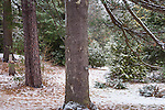 Snowy pines at the Arnold Arboretum in the Jamaica Plain neighborhood, Boston, Massachusetts, USA
