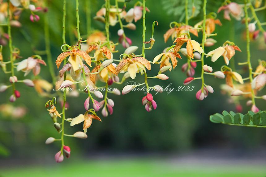 Tamarind Blossoms<br /> Virgin Islansd