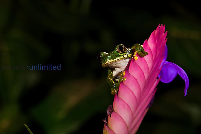 Big Eye Tree Frog (Leptopelis vermiculatus). Captive