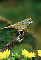582210003 a wild green-tailed towhee pipilo chlorurus perches on a lichen covered branch among yellow opuntia cactus blooms in the rio grande valley of south texas in the united states