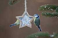Blaumeise, selbstgemachtes Vogelfutter in einem Stern, Förmchen, Vogelfütterung, Fütterung, Fettfuttermischung, Fettfutter, Meisenknödel, Blau-Meise, Meise, Meisen, Cyanistes caeruleus, Parus caeruleus, blue tit, bird's feeding, La Mésange bleue.