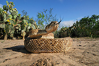 Western Diamondback Rattlesnake (Crotalus atrox), adult in striking pose, Laredo, Webb County, South Texas, USA