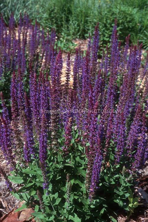Salvia x sylvestris 'May Night' aka 'Mainacht'. Salvia nemerosa Mainacht aka May Night. Perennial Plant of the Year by the Perennial Plant Association in 1997